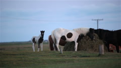 Spotted horse and calf grazing in green pasture, Iceland summer Stock Footage