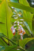 Shell ginger flower Stock Photos