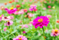 Gerbera or Daisy, Flower pink color - stock photo