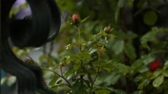 Stock Video Footage of Beautiful rosebuds on a garden, Neuschwanstein Castle