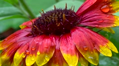 Gaillardia red and yellow flower after rain. Stock Footage