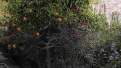 Orange tree, Park Guell. Stock Footage