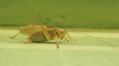 Big bright green grasshopper on wall close up macro Stock Footage