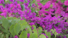 Stock Video Footage of Purple Blossom, Marmaris, Anatolia, Turkey