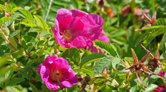 Closer look of the pink flowers of the plant Stock Footage