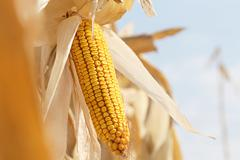 Dry corn on the stalk Stock Photos
