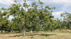 Sunny apple orchard - stock footage