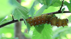 Saturnia pyri catterpillar Stock Footage