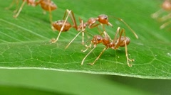 Red ant on leaf. Stock Footage