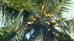 Coconuts on palm closeup Stock Footage