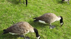 Black Wild Geese Eating Stock Footage