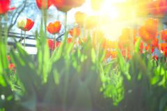 Field of red colored tulips with starburst sun Stock Photos