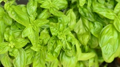 Basil spice and medicinal herb Stock Footage