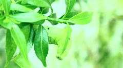 Caterpillar eating leaves Stock Footage