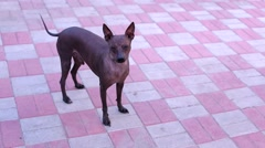 Dog looking at the camera and Vel tail Stock Footage