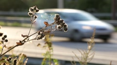 Burdock plant and highway traffic behind Stock Footage