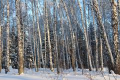Beautiful snowy forest cold winter in December - stock photo