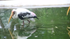 Stork bird walking on the water to cleaning herself Stock Footage
