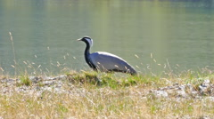 Stock Video Footage of demoiselle crane bird walking in grass