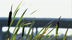 cattail waving in the breeze - stock footage