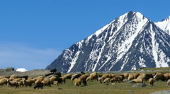 Flock of sheep and dog on mountain pasture Stock Footage