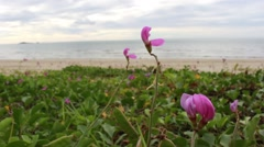 Ipomoea pes-caprae on the beach Stock Footage
