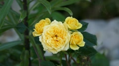 Yellow Rose On The Wind Stock Footage