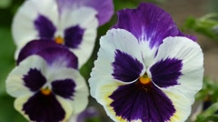 Pansy Close Up Stock Footage