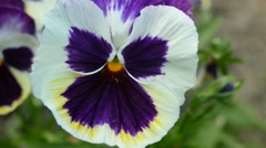 Pansy Close Up Detailed Stock Footage