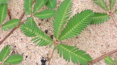 Wild sensitive plant folding leaves - stock footage