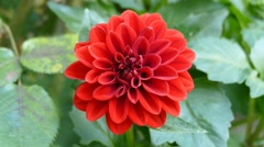 Red Flower Close Up Stock Footage