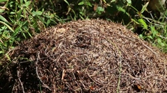 Stock Video Footage of The chaotic movement of ants in an anthill