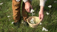 Stock Video Footage of Man herbalist collecting medical  yarrow blossoms, 4K