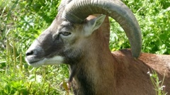 Argali - mountain sheep (Ovis ammon) Stock Footage