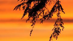 Silhouetted branches of cedar tree at sunset. Orange and yellow sky. - stock footage