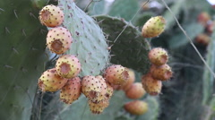 Hornets lands on prickly pear - stock footage