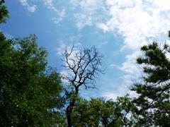 Leafless tree of acacia Stock Photos