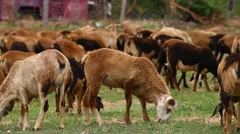 Goats at rural area Stock Footage