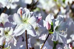 Beautiful flower rhododendron closeup - stock photo