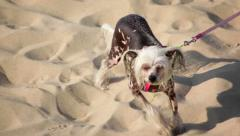 Funny dog on beach - stock footage