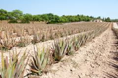 Aloe Vera: plantation of medicinal aloe vera in the farm Stock Photos