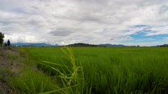 Stock Video Footage of Beautiful and tranquil paddy rice plantation scene, camera pan right