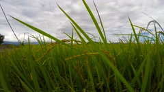 Beautiful and tranquil paddy rice plantation scene, crane shot up - stock footage