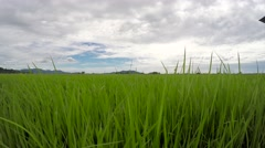 Beautiful and tranquil paddy rice plantation scene, crane shot pan right - stock footage