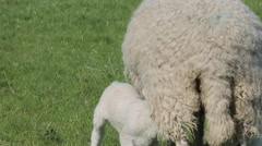 Lambs near Wardlow, Derbyshire, England, UK, Europe Stock Footage
