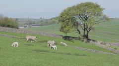 Lanscape & Lambs near Wardlow, Derbyshire, England, UK, Europe Stock Footage