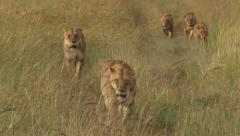 close up of lion pride walking - stock footage