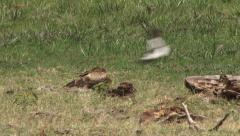 Eagle under attack Stock Footage