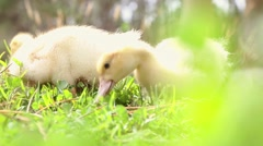Two cute ducks in the wild - stock footage