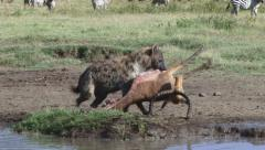 Dead impala and hyena Stock Footage